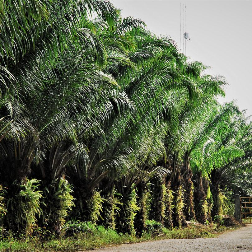 Tausende Hektar Wald für Palmölanbau in Guatemala vernichtet